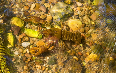 White-clawed crayfish (Austropotamobius pallipes) on riverbed, Staffordshire, UK. September.