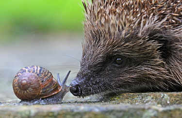 Close up of a European hedgehog (Erinaceus europaeus) sniffing a Garden snail (Helix aspersa), Peak District, UK. August.