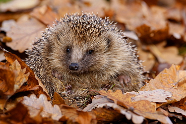 Hedgehog (Erinaceus europaeus) curled up in autumn leaves, Peak District, UK. November,