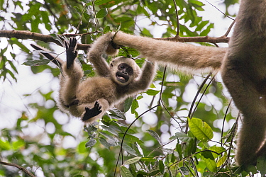 Northern muriqui monkey (Brachyteles hypoxanthus) juvenile aged one year, in tree playing with its mother's tail, RPPN Feliciano Miguel Abdala, Atlantic Forest, Brazil. June.