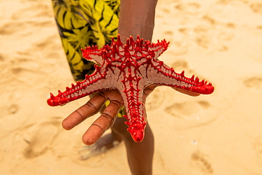 Red-knobbed sea star (Protoreaster lincki), held in the hand, Kwale Island, Zanzibar, Tanzania. January.