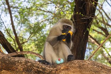 Male Vervet monkey (Chlorocebus aethiops) eating a mango fruit, showing blue scrotum, Samburu Lodge, Kenya. January.