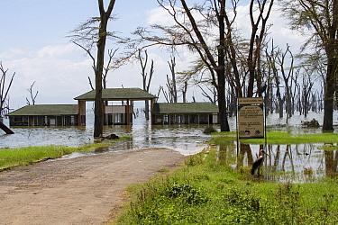 Dying Fever trees (Vachellia xanthophloea) at the main gate to Lake Nakuru National Park, Kenya. January 2020.