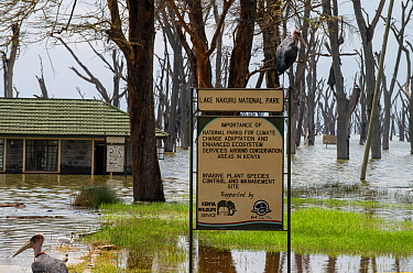 Flooded main gate and sign for Lake Nakuru National Park with Marabou storks (Leptoptilos crumeniferus) and dying Fever Trees (Vachellia xanthophloea) due to flooding caused by climate change, Kenya....