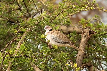 Mourning Collared Dove (Streptopelia decipiens) on Whistling thorn (Acacia drepanolobium), Samburu National Reserve, Kenya. January.