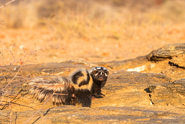 Striped / African Polecat (Ictonyx striatus), Private reserve, Namibia. September. Captive.