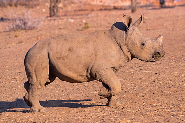 White rhinoceros (Ceratotherium simum) juvenile walking, Private reserve, Namibia. September. Captive.
