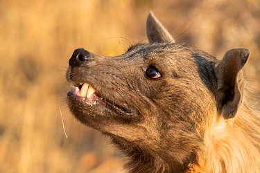 Close up of a Brown hyaena (Parahyaena brunnea), Private reserve, Namibia. September. Captive