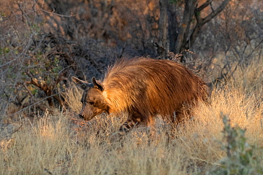 Brown hyaena (Parahyaena brunnea) walking through dry grass, Private reserve, Namibia. September. Captive