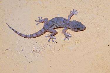 European common or Moorish gecko (Tarentola mauritanica), Parque Natural Sierra de Andujar, Andalucia, Spain. January.