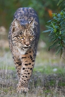 Iberian lynx (Lynx pardinus) walking, Parque Natural Sierra de Andujar, Andalucia, Spain. January.