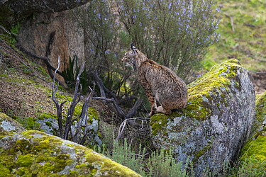 RF - Iberian lynx (Lynx pardinus) sitting, camouflaged against rocks, Parque Natural Sierra de Andujar, Andalucia, Spain. January. (This image may be licensed either as rights managed or royalty free....