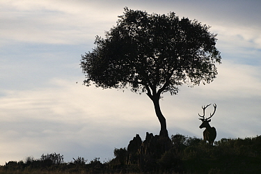 RF - Red deer stag (Cervus elaphus) and a Holm oak tree (Quercus ilex) silhouetted, Parque Natural Sierra de Andujar, Andalucia, Spain. January.  (This image may be licensed either as rights managed...