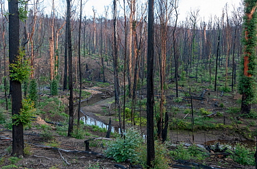 Martins Creek and surrounds approx 5 months after 2019/20 bushfires devastated the area. The edge of the creek originally had wet temperate rainforest along its edge, bounded by wet and damp forest. M...