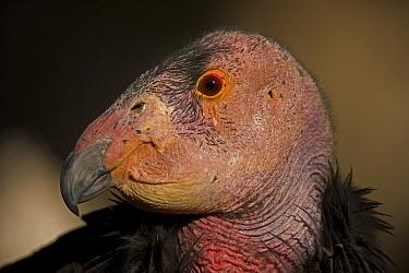 California condor (Gymnogyps californianus) head portrait, California, USA, Captive. Endangered species.