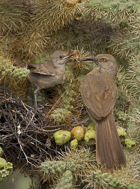 Curve-billed thrashers (Toxostoma curvirostre), adult feeding young on nest in cholla cactus, Arizona, USA. July.