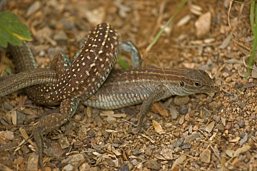 Sonoran spotted whiptail (Cnemidophorus sonorae), two females mating, the females will then produced eggs parthenogenetically. Arizona, USA, July.