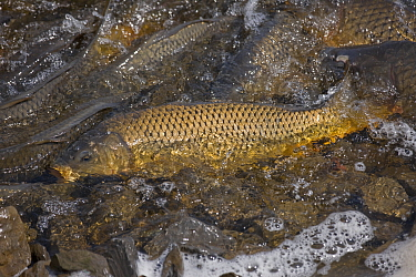 Carp (Cyrinus carpio), New York, USA.April. Introduced species.