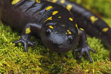 Spotted salamander (Ambystoma maculatum) New York, USA,