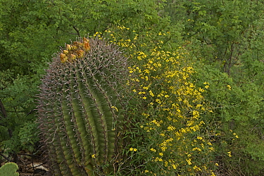 Desert vine (Janusia gracilis) with Fishhook barrel Cactus (Ferocactus wislizeni) Sonoran Desert, Arizona, USA. August.