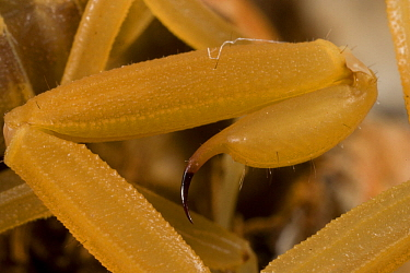 Bark scorpion (Centruroides exilicauda), close-up of telson / stinger, Arizona, USA, July.