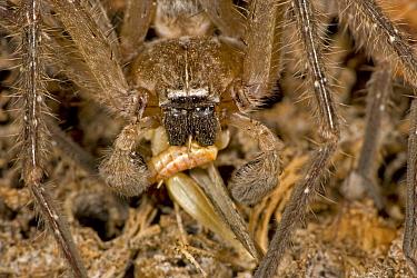 Giant crab spider (Olios sp), Eating grasshopper, Sonoran desert, Arizona, USA. July.