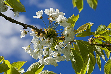 Cherry (Prunus avium) blossom in spring with young leaves against a blue sky with white cloud, Devon, May