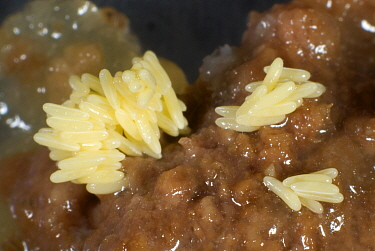 Housefly eggs (Muscidae) laid on rotting meat