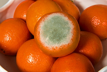 Fruit rot (Penicillium digitatum) a green penicillin mould development on supermarket netted Clementine (Citrus) fruits