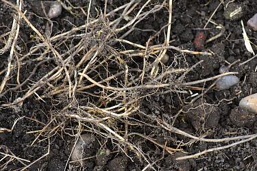 Couch grass rhizomes (Elymus repens), dug up from an established vegetable garden and capable of invasive regrowth Berkshire, England, UK.