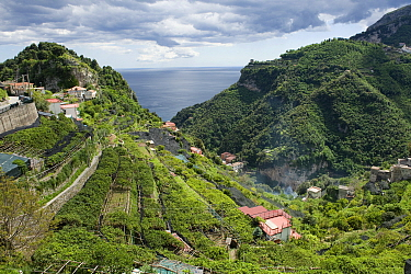 Lemon groves with fruit on the Bay of Salerno near Amalfi in Italy. Some trees are netted to prevent over exposure to the sun and sunburn.