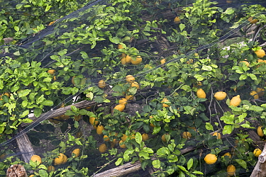 Lemon trees with fruit under shade netting to prevent sunburn on the Bay of Salerno near Amalfi in Italy.