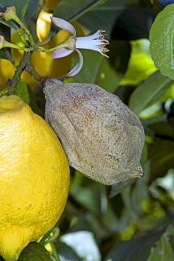 Grey mould (Botrytis cinerea) rotted Lemon fruit (Citrus limon) on the tree, Campania, Italy, May
