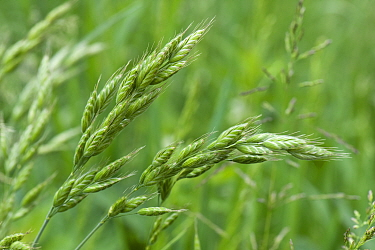 Soft brome (Bromus mollis) green, delicate, attractive flower spikelets of unopened on wild grasses, Berkshire, June
