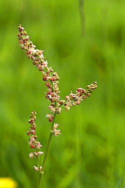 Sheep's sorrel (Rumex acetosella) reddish colouring on flower spike from plant in meadow grassland, Berkshire, June
