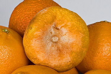 Brown rot (Phytophthora citrophthora) an oomycete (water mould) on a tangerine, post-harvest storage rot