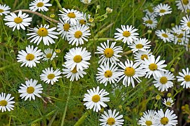 Scentless mayweed, (Tripleurospermum inodorum) a weed and secondary pest host flowering, with flower beetles and other insects, Berkshire, July
