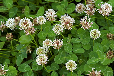 Flowering white clover, Trifolium repens, pasture and forage crop for nitrogen fixation in grassland, Berkshire, July