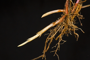Couch grass (Agropyron repens) roots and spreading young underground rhizomes