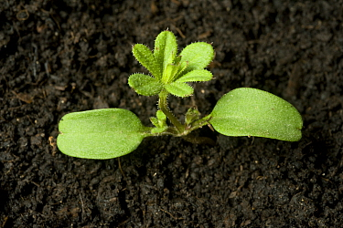 Seedling Cleavers / Goosegrass (Galium aparine) annual arable and garden weed with cotyledons and first true whorl
