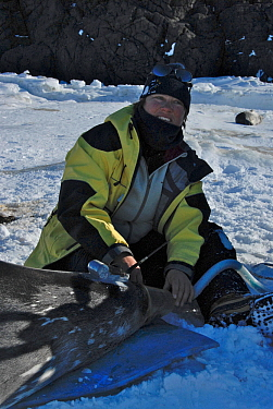 Placement of a tracker on a Weddell seal (Leptonychotes weddellii) in Ellis Fjord, Vestfold Hills, Antarctica, March 2007