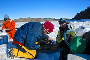 Group of scientists anesthetizing and placing a tracker on a Weddell seal (Leptonychotes weddellii) in Ellis Fjord, Vestfold Hills, Antarctica, March 2007