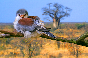 African pygmy falcon (Polihierax semitorquatus) female perched in tree, native to eastern and southern Africa. Captive. Digital composite
