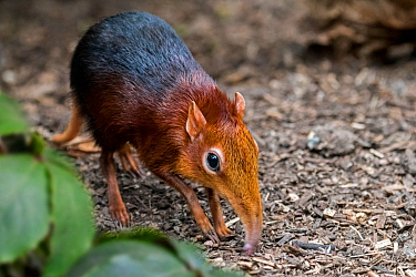 Black and rufous elephant shrew / sengi (Rhynchocyon petersi) looking for insects in the ground with long nose / proboscis. Captive