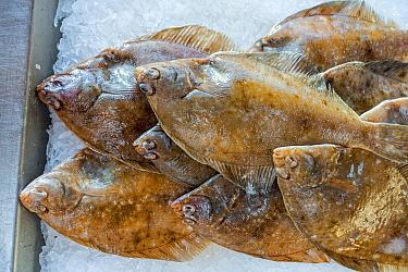 Common dab fishes (Limanda limanda) on ice on display in fish shop / fish market