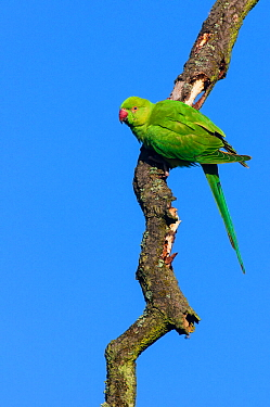 Ring-necked parakeet (Psittacula krameri) perched on dead tree branch against blue sky. London, England, UK, October.