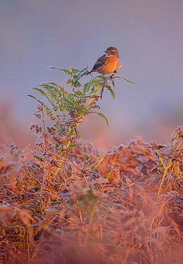 European stonechat (Saxicola rubicola) female perched on frost-covered bracken. London, England, UK, October.