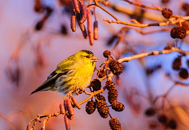 Eurasian siskin (Carduelis spinus), male, feeding on alder seeds, London, England, UK. December.