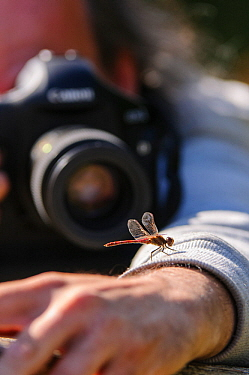 Photographer photographing Common darter (Sympetrum striolatum) which landed on his arm. London, England, UK. September.