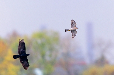 Carrion crow (Corvus corone) chasing Eurasian sparrowhawk (Accipiter nisus). London, England, UK, November. Cropped